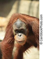 orangutan - very nice orangutan in the Prague ZOO