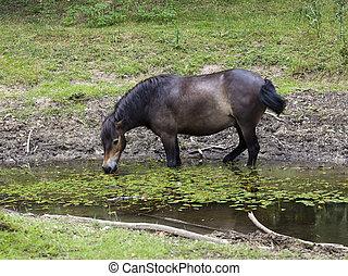 exmoor pony - an exmoor pony eating aquatic plants in a...