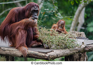 Baby Orangutan and its mother - Baby Orangutan eating with...