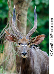 Male nyala antilope looking at the camera