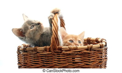 little kittens playing in studio on a white background