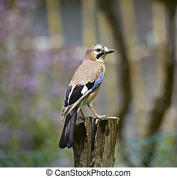 ITALY, Lazio, countryside, jay, scientific name: Garrulus...