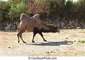 Standing bactrian camel Camelus bactrianus photo