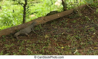 lizard digs the ground and eats insects in grass leaves -...