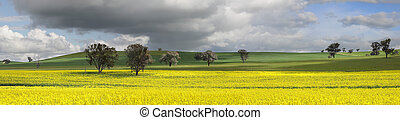 Fields of Green and Gold - Fields of golden canola and wheat...