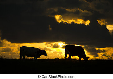 Cow silhouettes at sunset