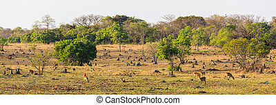 Wildlife grazing on the plains of Africa in early morning...