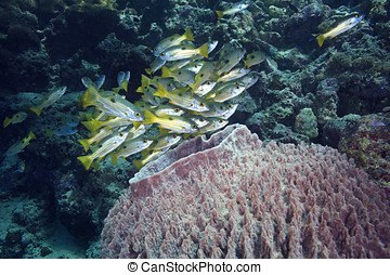 Fish with Barrel Sponge - a small school of black-spot...
