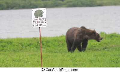 Gently brown bear. - Electric fence. Gently brown bear
