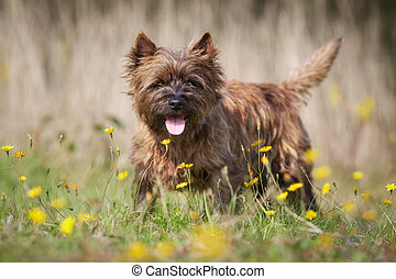 Brown Cairn Terrier Dog - Purebred dog outdoors on a sunny...