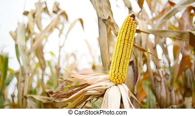 Ripe maize on the corn cob - Ripe maize on the cob in...