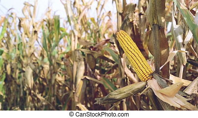 Ripe maize on the corn cob
