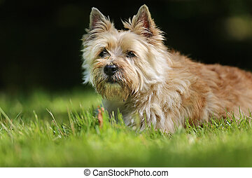 White terrier dog - Adult purebred dog outdoors on a summer...