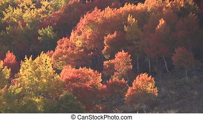 Aspen Grove in Fall - a scenic aspen grove in fall