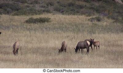 Elk Herd in Rut - a bull elk with his harem of cows during...