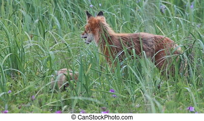 red fox with cubs, summer
