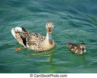 Mallard or wild duck female and baby, anas platyrhynchos