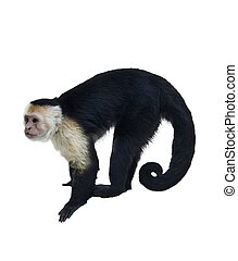 White Throated Capuchin Monkey Isolated On White Background...