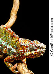 Panther Chameleon Furcifer pardalis - Close up of a Panther...