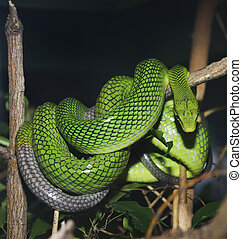 Red Tailed Green Ratsnake - Red Tailed Green Snake In...