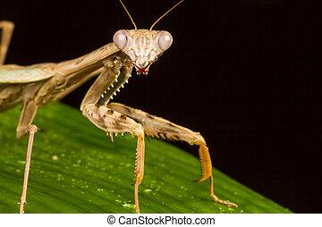 Griffin Mantis Polyspilota griffinii - Macro of Griffin...