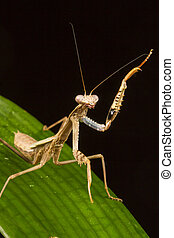 Griffin Mantis Polyspilota griffinii standing with one...