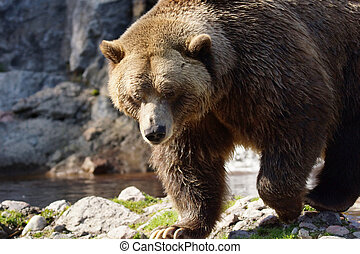 Big grizzly bear walking - Big grizzly brown bear walking,...