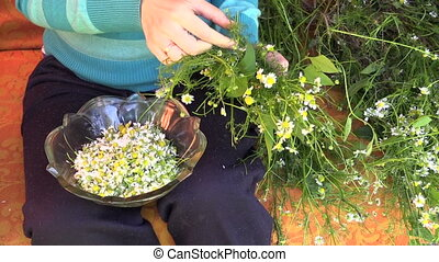 hands pick camomile - young girl hands pick camomile flower...