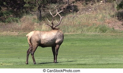 Bull Elk - a bull elk in a meadow during the fall rut