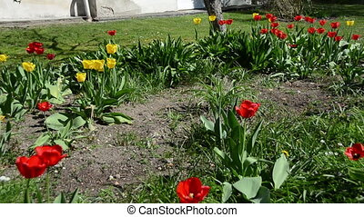 girl work flower bed - Panorama of amazing colorful tulip...