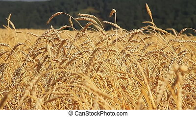 Wheat field - Summer. Sunny day. Blue cloudless sky....