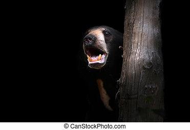 malayan sunbear - malayan sun bear standing in the dark