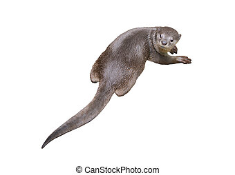 Smooth coated otter ( Lutrogale perspicillata ) isolated on...