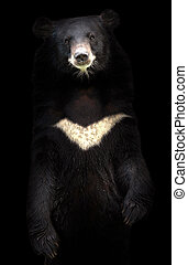 asiatic black bear standing in the dark