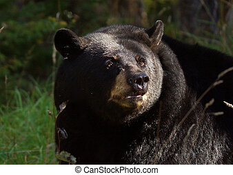Black bear portrait - Portrait of an American black bea,...