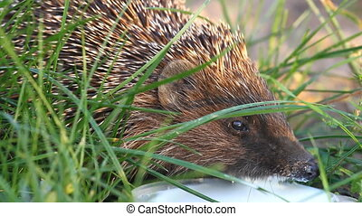 Hedgehog drinks milk on the green grass