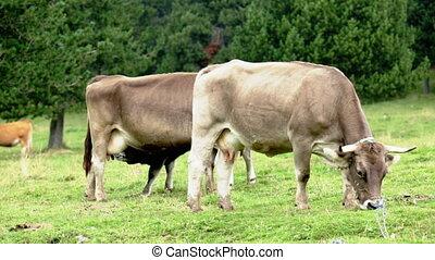 Few cows in meadow in summer