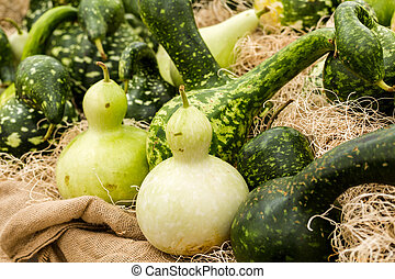Gourds - Green gourds at the pumpkin patch.
