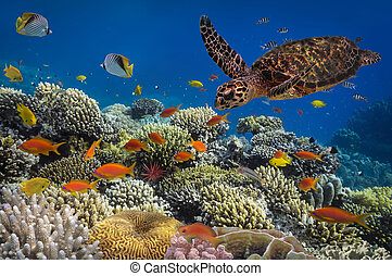 Turtle - Eretmochelys imbricata floats under water. Red Sea,...