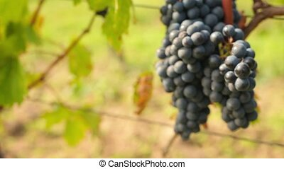 Wine harvesting - Red wine growing in the wineyard, close...