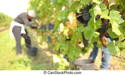 Wine harvesting - Worker cutting the best red wine grapes...