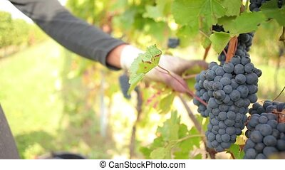 Wine harvesting - Making the selection of best red wine...