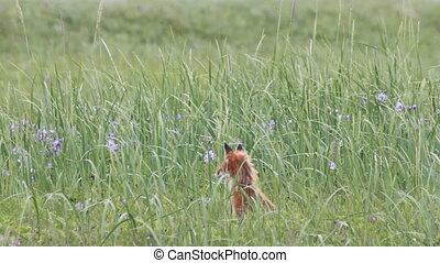 Red fox, tundra, loneliness summer