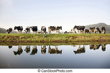 cows in a meadow near zeist in the Netherlands with...
