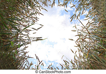 golden corn and blue sky - golden field of corn and the blue...