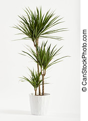 Yucca plant potted in a container for use indoors as a...