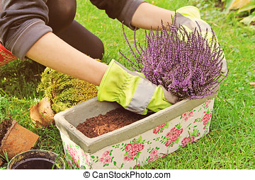 gardeners hand planting heather flowers in pot with soil