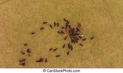 Cattle in field drone view in uk , hampsire