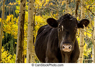 Fall in Steamboat Springs Colorado - Close up of black angus...