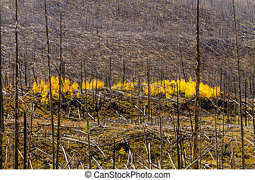 Fall in Steamboat Springs Colorado - Growth of new Aspen...